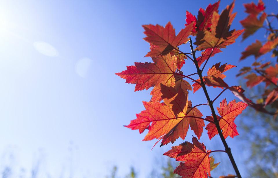 美国红枫苗木基地-山东哪家美国红枫供应商好