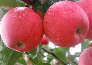 苹果栽植——想买品种好的苹果苗上哪