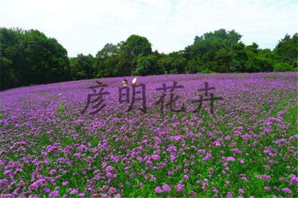 彦明花卉苗木销量好的柳叶马鞭草供应——柳叶马鞭草基地