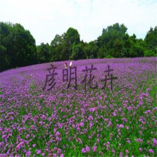 彦明花卉苗木专业供应柳叶马鞭草|宿根地被花卉
