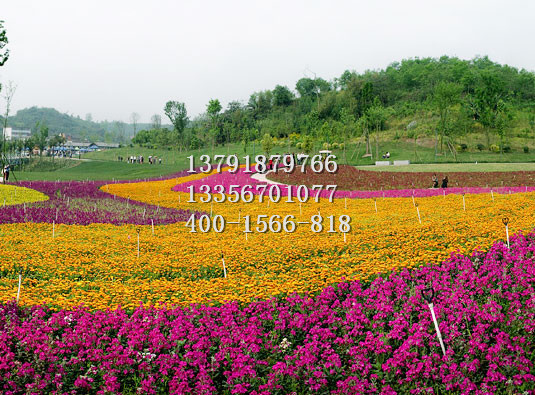 观赏草哪里有卖的,三色堇价格