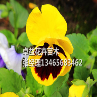 要买价格优惠的角堇,卓益花卉是不二选择——湖南角堇