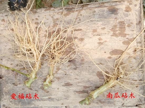 高抗根结线虫砧木供应-哪里有供应嫁接砧木