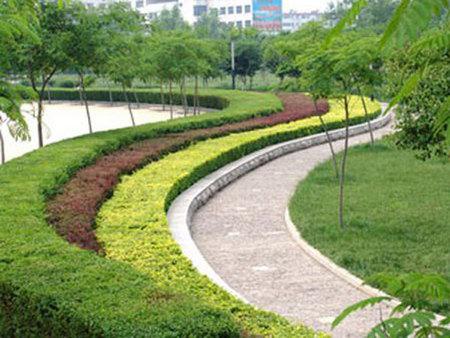 国槐种植基地 想要品质好的槐米树苗就来鲁州顺诚花卉苗木