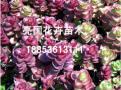 青州粉八宝景天,哪里能买到热销宿根花卉