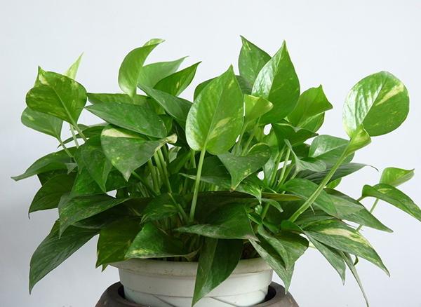 室内绿萝供应 报价合理的室内绿萝供应尽在全意花卉苗木