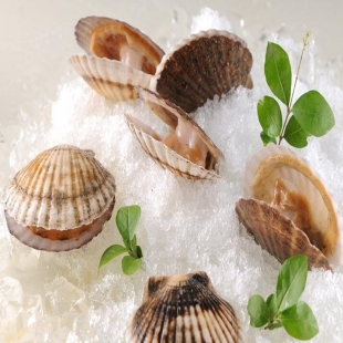 连云港海产品 批发 海鲜 鲜活扇贝 大扇贝 优质鲜活 产地直销