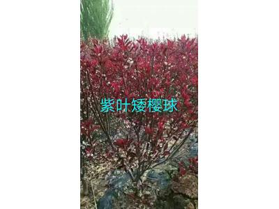定西紫叶矮樱培育,甘肃哪里有出售紫叶矮樱培育