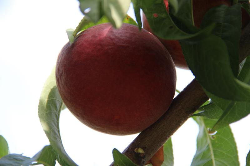 大棚桃 想买品种好的桃树苗上哪