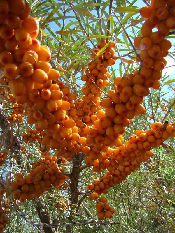 优质沙棘首推海龙苗木——四川沙棘价格