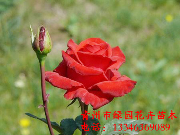 潍坊信誉好的大花月季供应商推荐——山东大花月季批发商