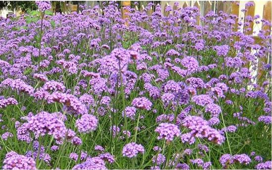 四川马鞭草批发 卓益花卉出售优质马鞭草