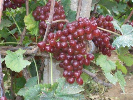 小龙干葡萄_品种好的葡萄苗价格怎么样