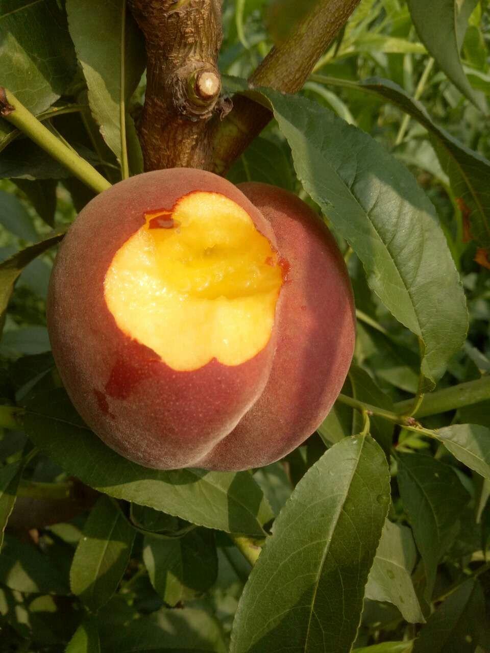 黄金冠桃苗供应商-专业供应黄金冠桃