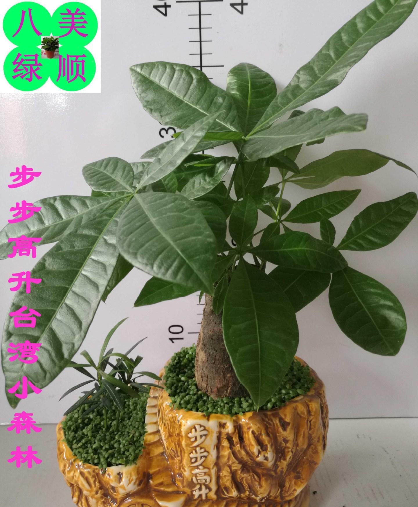 广州批发台湾小森林步步高升瓷盆罗汉松办公室观叶精品盆栽