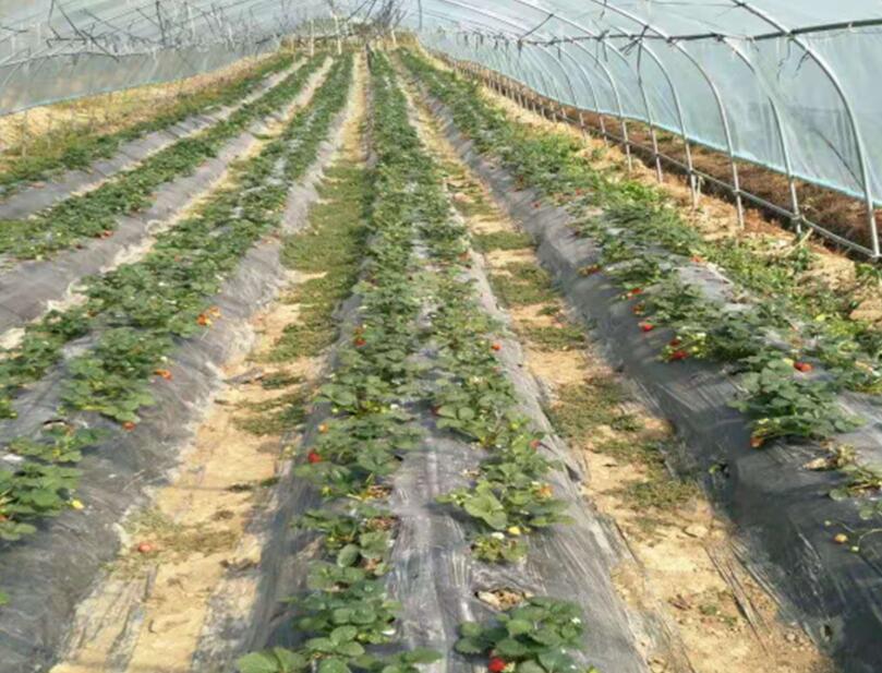 想买好的银黑双色地膜就到贵州晟和兴塑业 贵州草莓种植地膜
