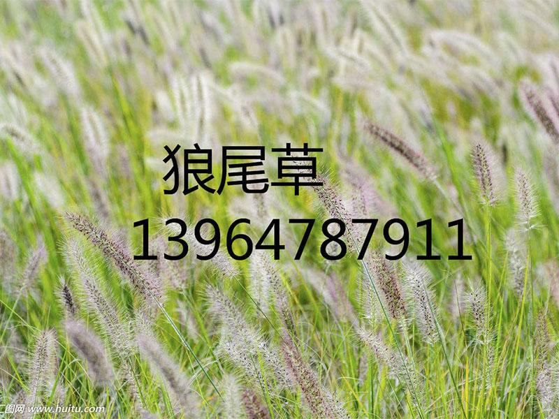 狼尾草种植基地 潍坊境内花卉种植推荐