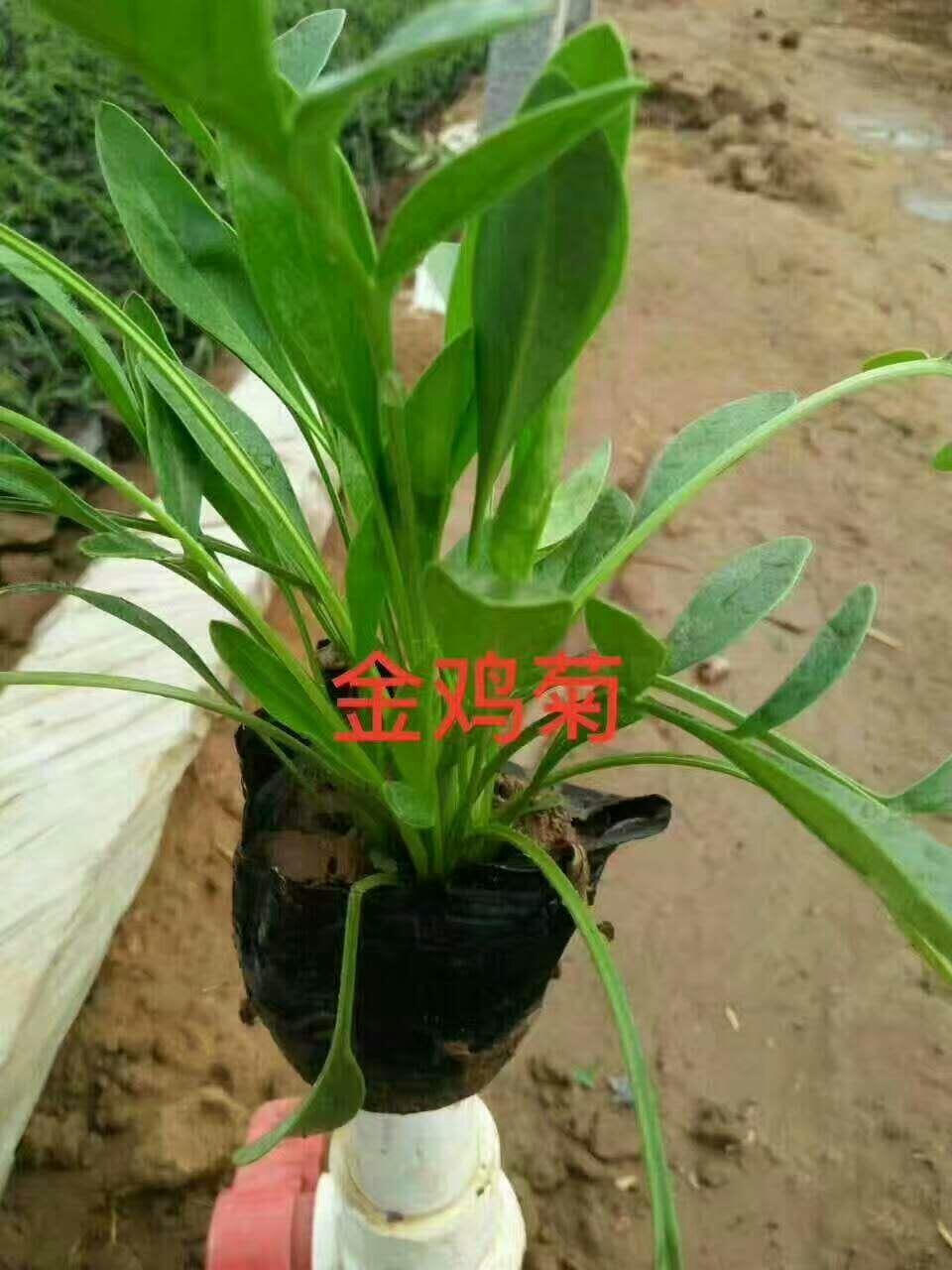 北京金鸡菊_长期供应金鸡菊