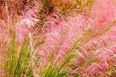 粉黛乱子草价格——专业的粉黛乱子草供应商就在潍坊