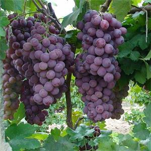想要品种好的葡萄苗就来金百果品——葡萄苗基地