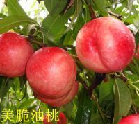 潍坊桃树苗哪家好|美脆油桃苗