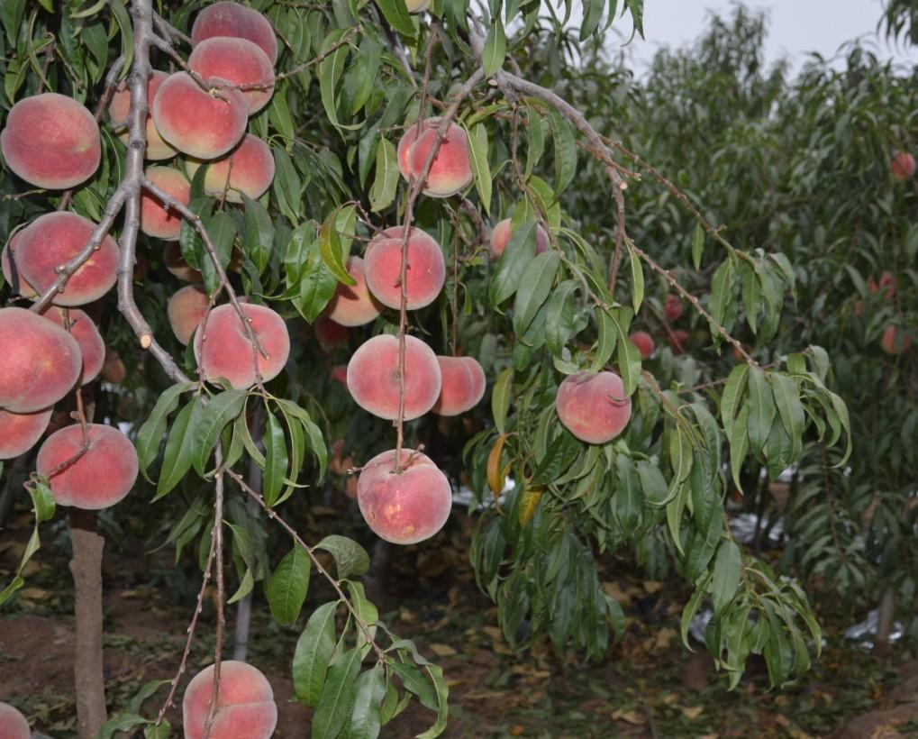坐果率高的映霜红桃苗_山东可信赖的映霜红桃生产基地