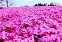 彦明花卉苗木出售划算的丛生福禄考价格 芝樱