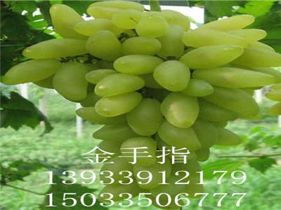 早夏无核葡萄苗哪家好|秦皇岛优质葡萄苗供应