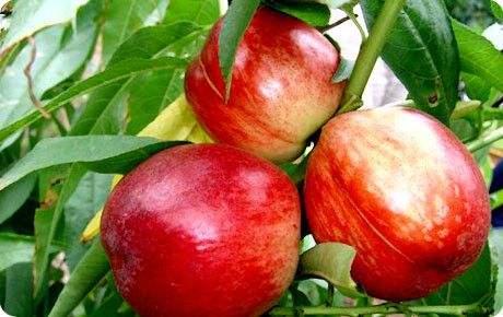 桃树苗基地 优质桃树苗大量批发