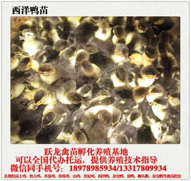 贵州广西鸭苗哪家好——划算的广西南宁西洋鸭苗就在跃龙禽苗孵化