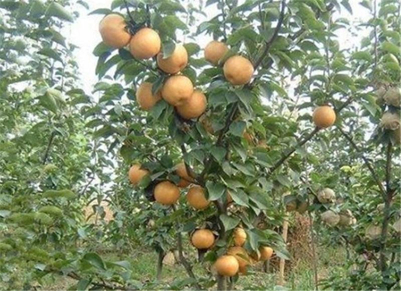 鹤壁中秋王苹果_供应河南成活率高的果树苗