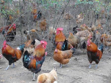 生态土鸡养殖——为您推荐划算的生态土鸡